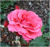 Rosarose2
