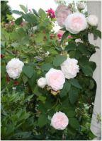 Rosevedveranda