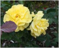 Yellowrose-2
